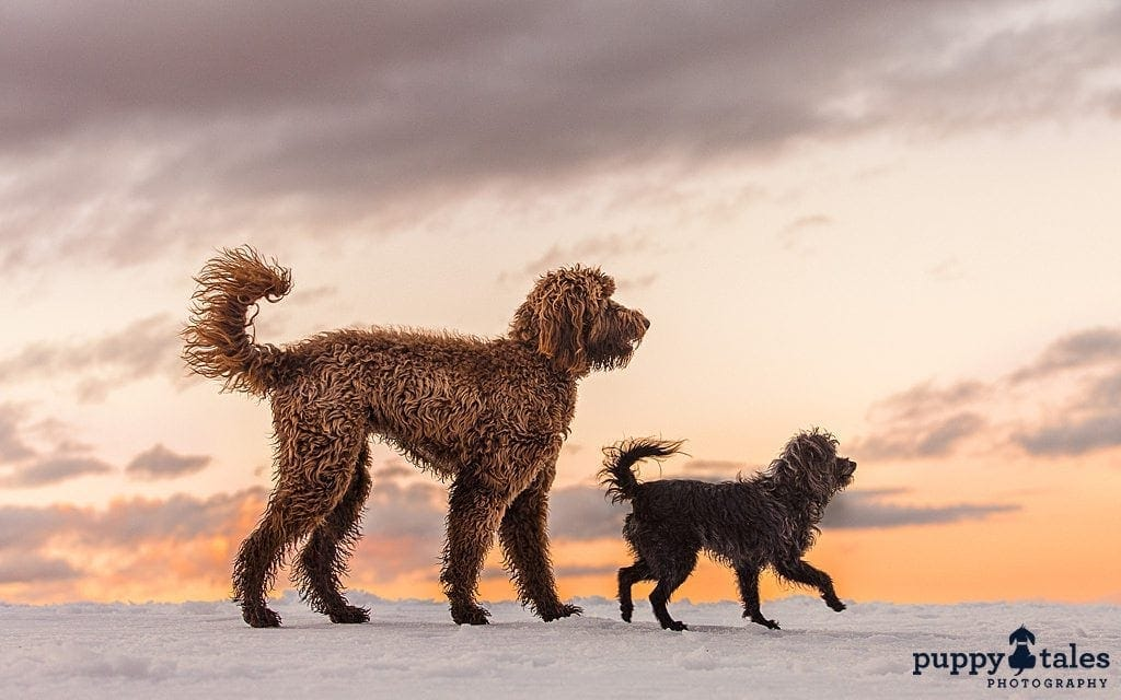 Schnoodle and Labradoodle walking in the snow