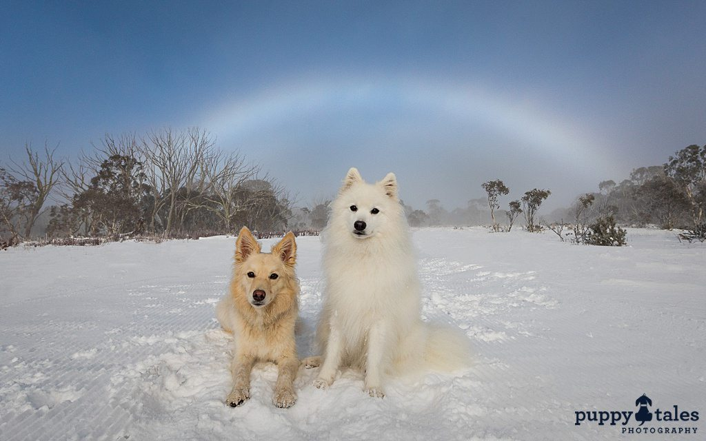 Japanese Spitz and Border Collie x dogs sitting in the snow-covered ground at Dinner Plain