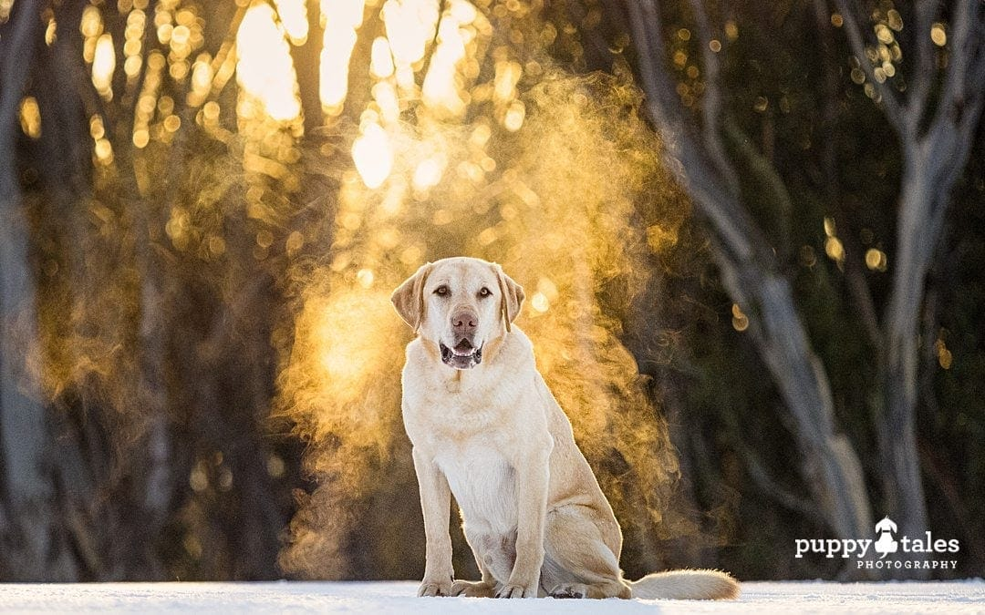 brown labrador dog standing next to a tree with golden backdrop