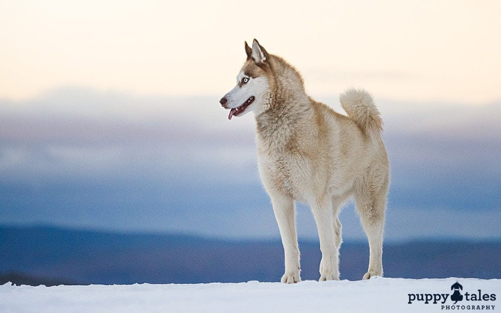 Siberian Husky dog standing in the snow-covered ground