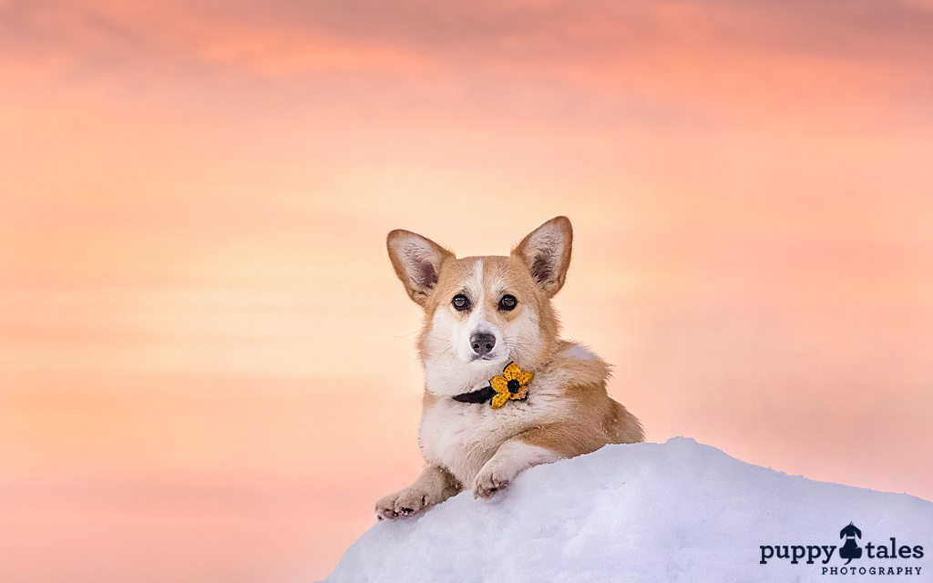 Corgi dog with a beautiful peach colored sunrise background