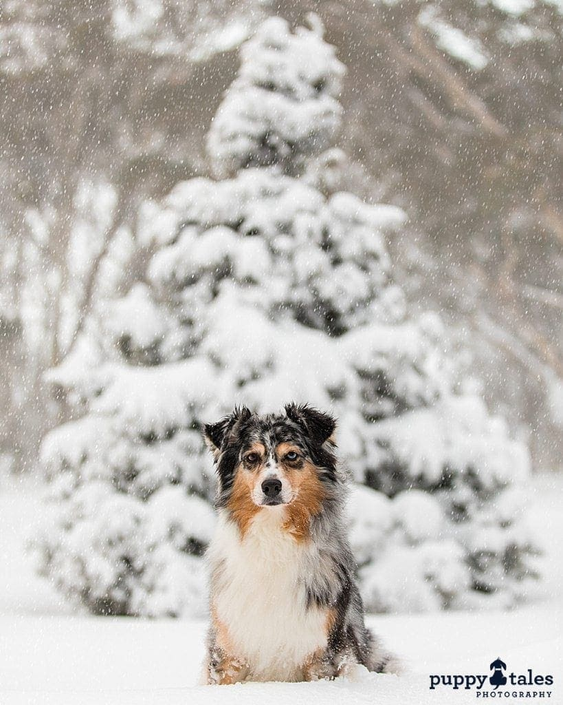 Australian Shepherd sitting in front of a Christmas tree