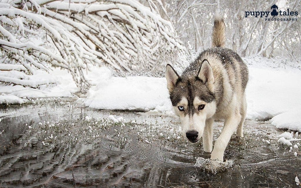 Siberian Husky dog walking in a pond at Dinner Plain