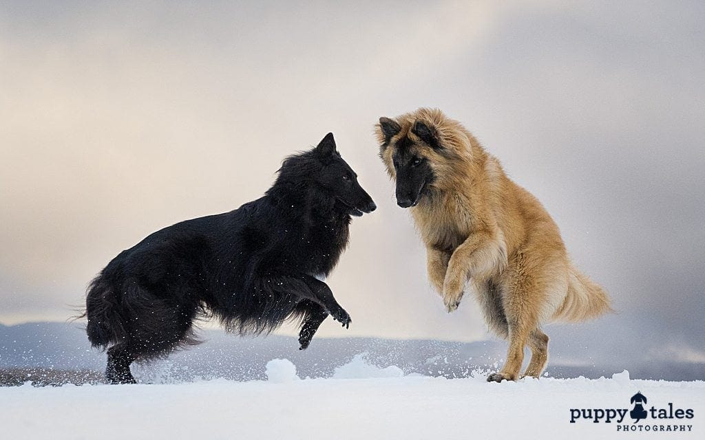 two Belgian Shepherds playing in the snow