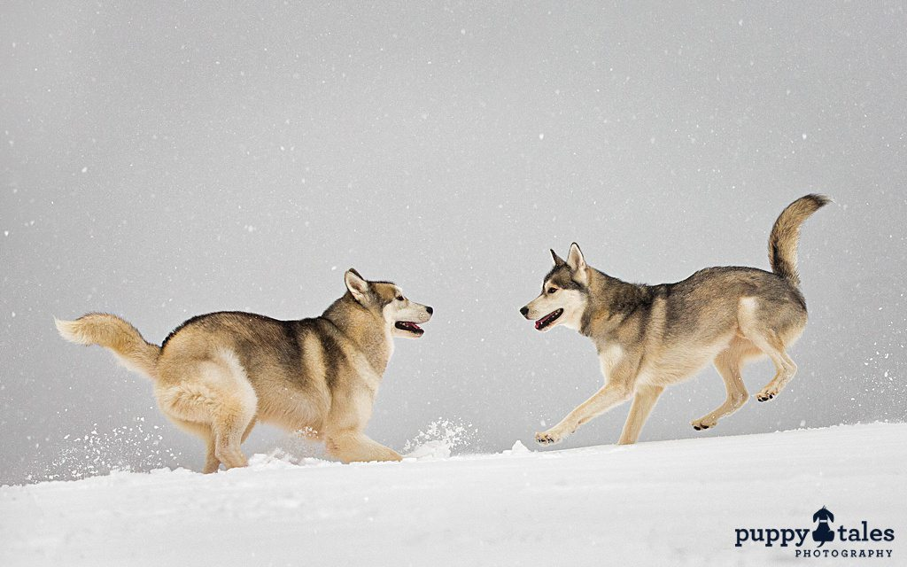 a couple of dogs playing on top of a snow covered ground