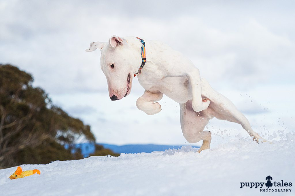 a white dog playing in the snow