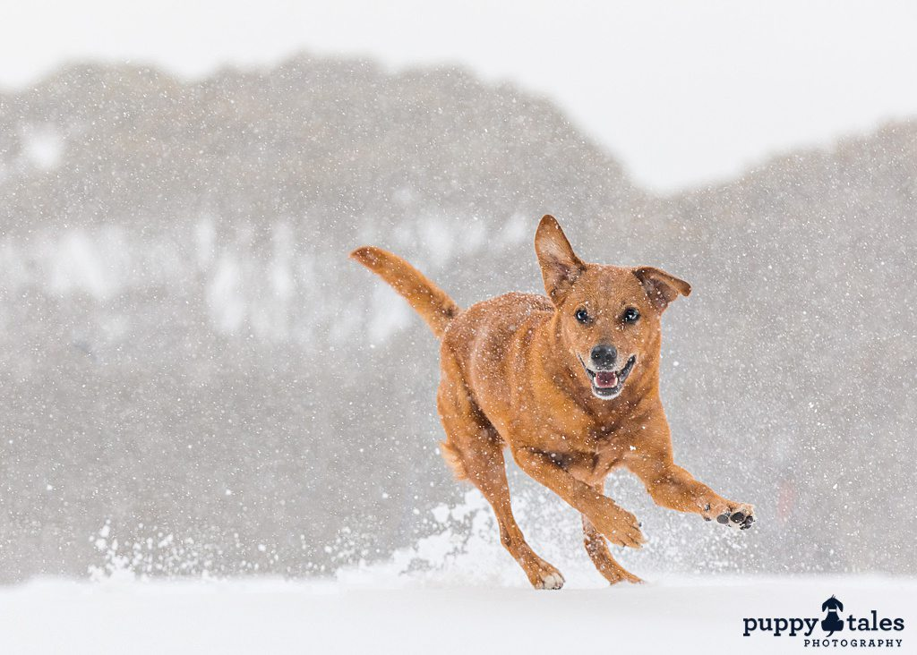 a brown dog enjoys playing in the snow