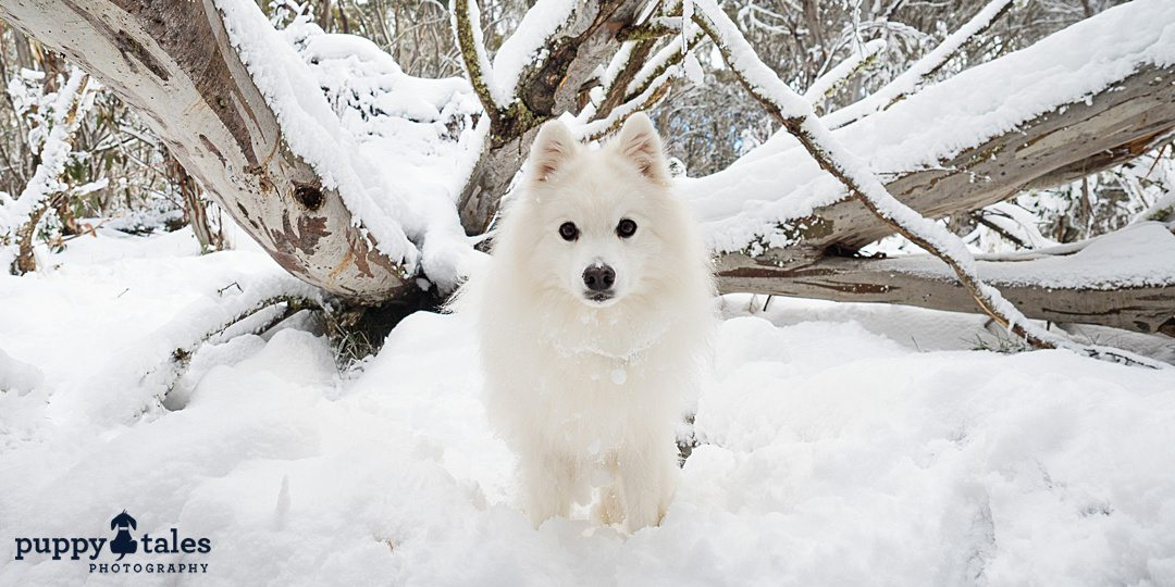 a white Japanese Spitz dog posing for the camera under tree branches