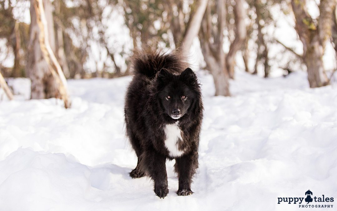 black dog walking in the snow