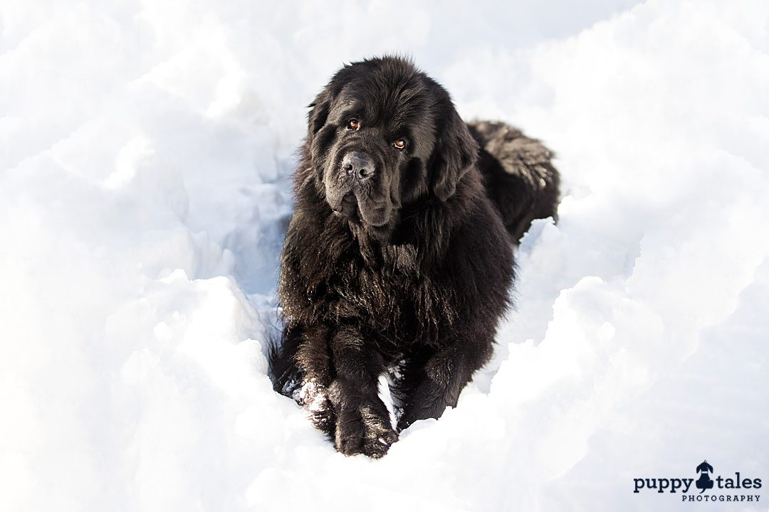 a black dog sitting in the snow tilting its head