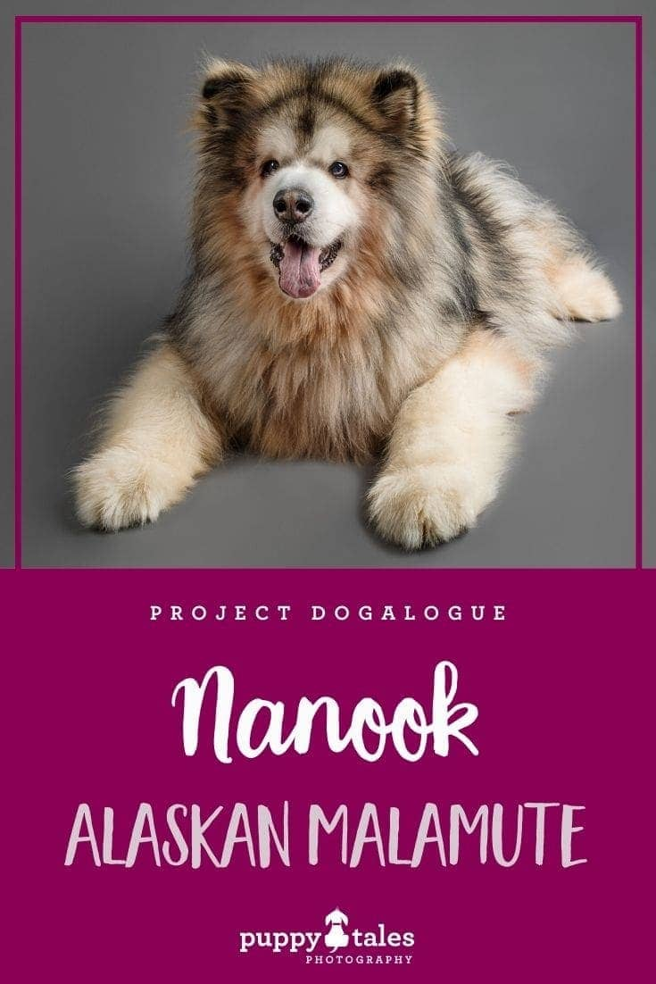 Nanook the nine-year-old Long Haired Alaskan Malamute. He was photographed by Puppy Tales Photography for Project Dogalogue.