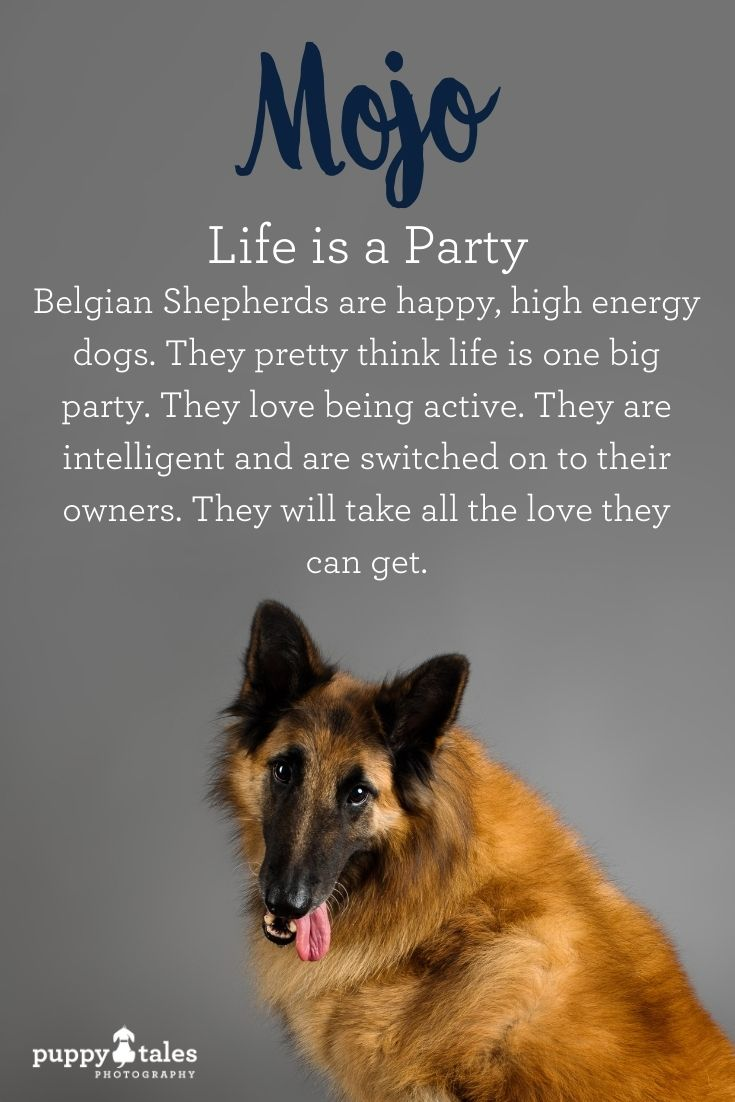 Mojo the Tervuren Belgian Shepherd, photographed by Puppy Tales Photography for Project Dogalogue