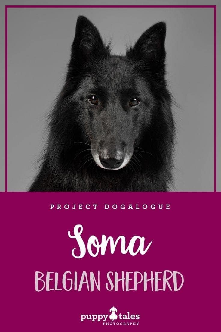 Soma the three-year-old Groenendael Belgian Shepherd. She were photographed by Puppy Tales Photography for Project Dogalogue.