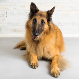 Studio photograph of Mojo the Tervuren Belgian Shepherd