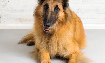 Studio photograph of Mojo the Tervuren Belgian Shepherd