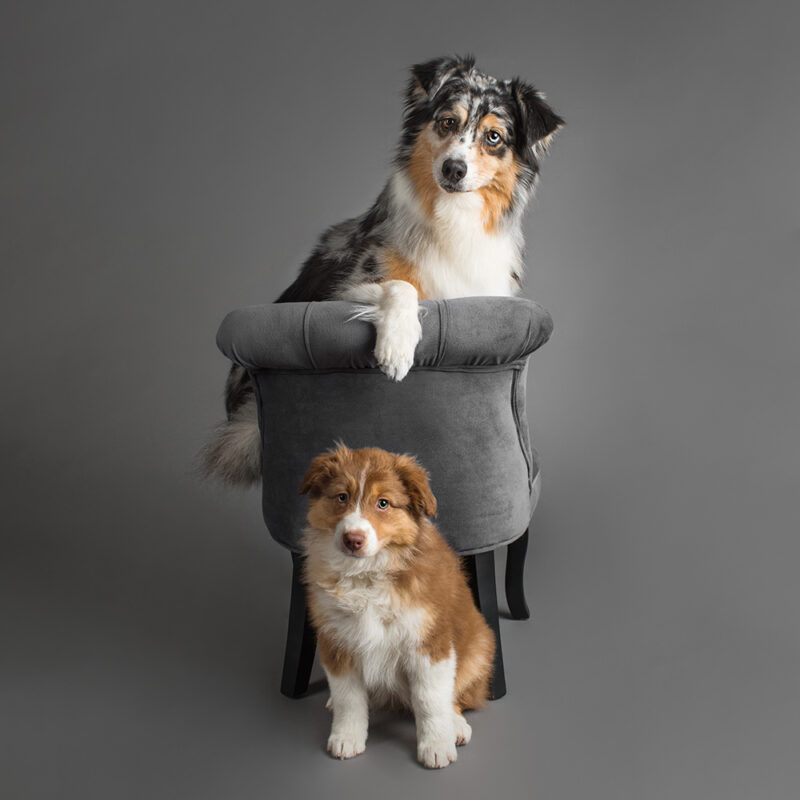 Seven-year-old Breeze & puppy Sky, the Australian Shepherds, were photographed in Puppy Tales' Project Dogalogue.
