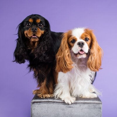 Three-year-old Lance and one-year-old Angus (Cavalier King Charles Spaniel) were photographed in Puppy Tales' Project Dogalogue.
