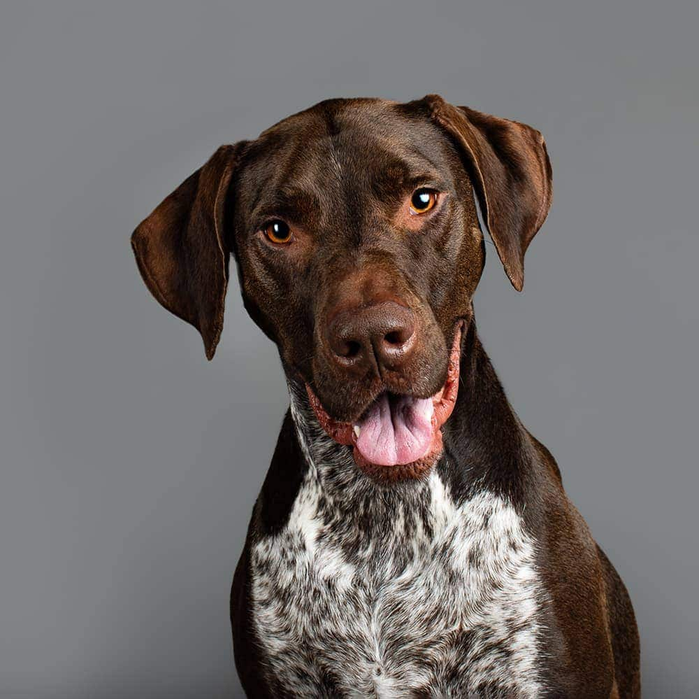 Four-year-old Cooper (German Short Haired Pointer x Bull Arab) was photographed in Puppy Tales' Project Dogalogue.
