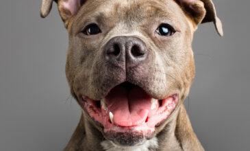 Studio photograph of Ella the American Staffordshire Terrier puppy