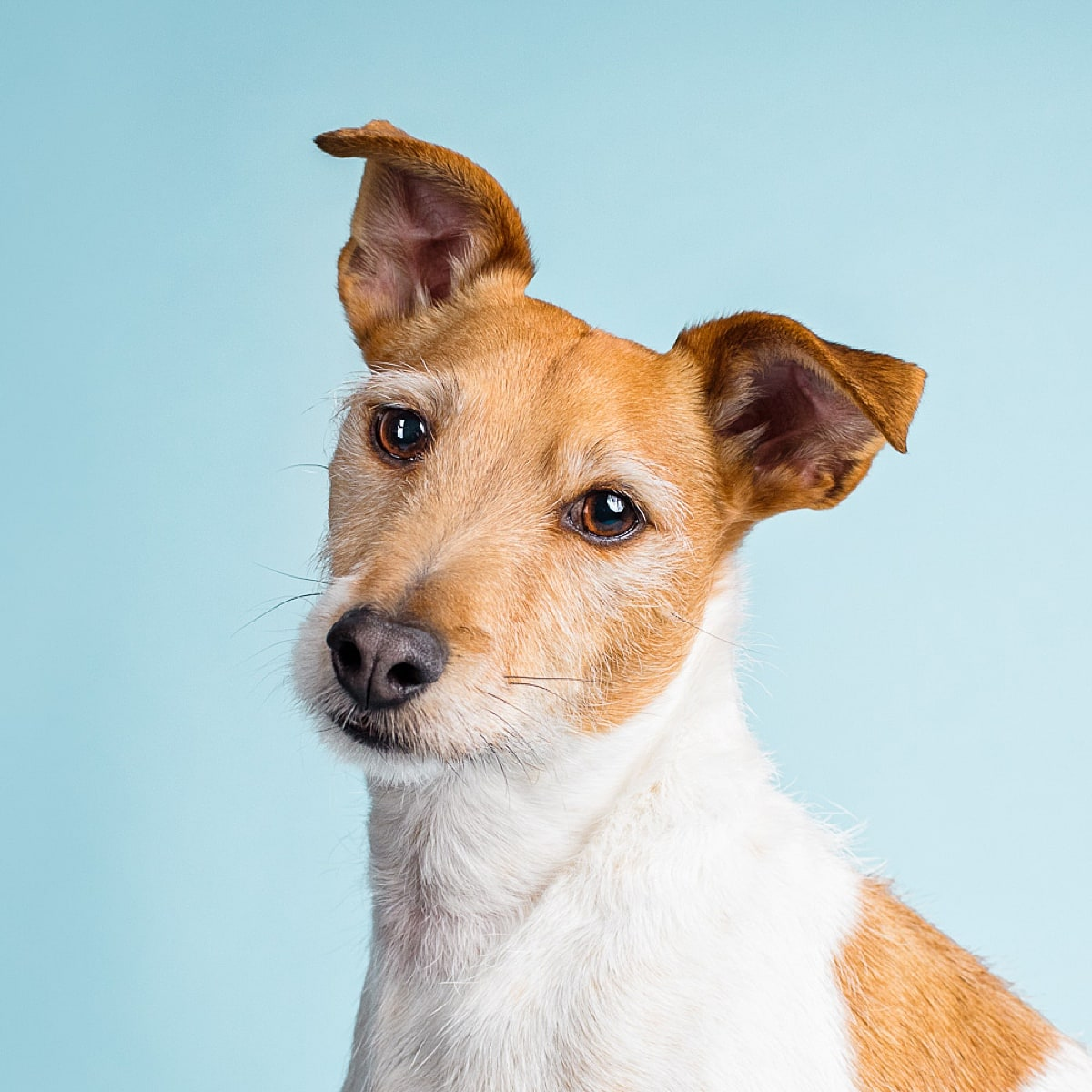 Studio photograph of Frank the tan and white Jack Russell Terrier