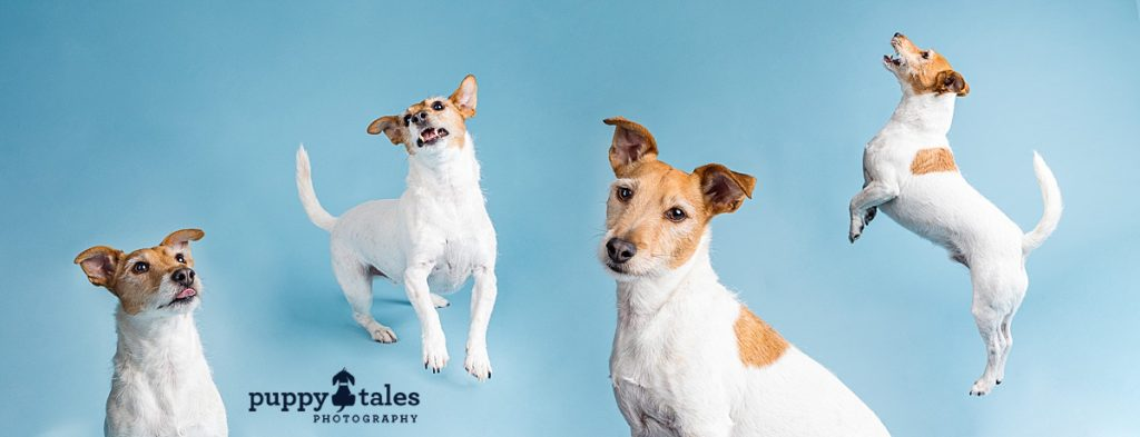 Jack Russell Terrier was photographed on blue background in the studio. This collage shows his cheeky personality.