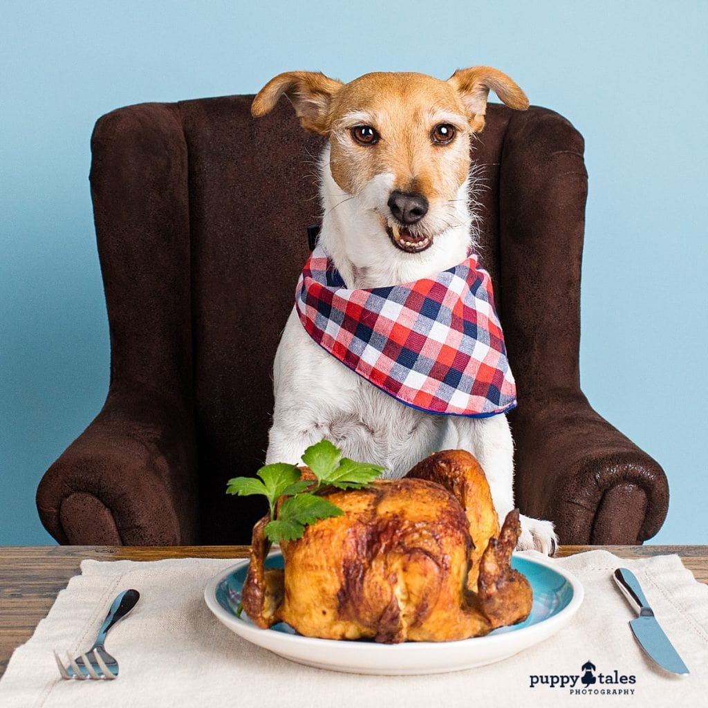 Jack Russell Terrier Frank loves sitting at the table and chicken! So he was photographed in the Melbourne studio with both his favourite things.
