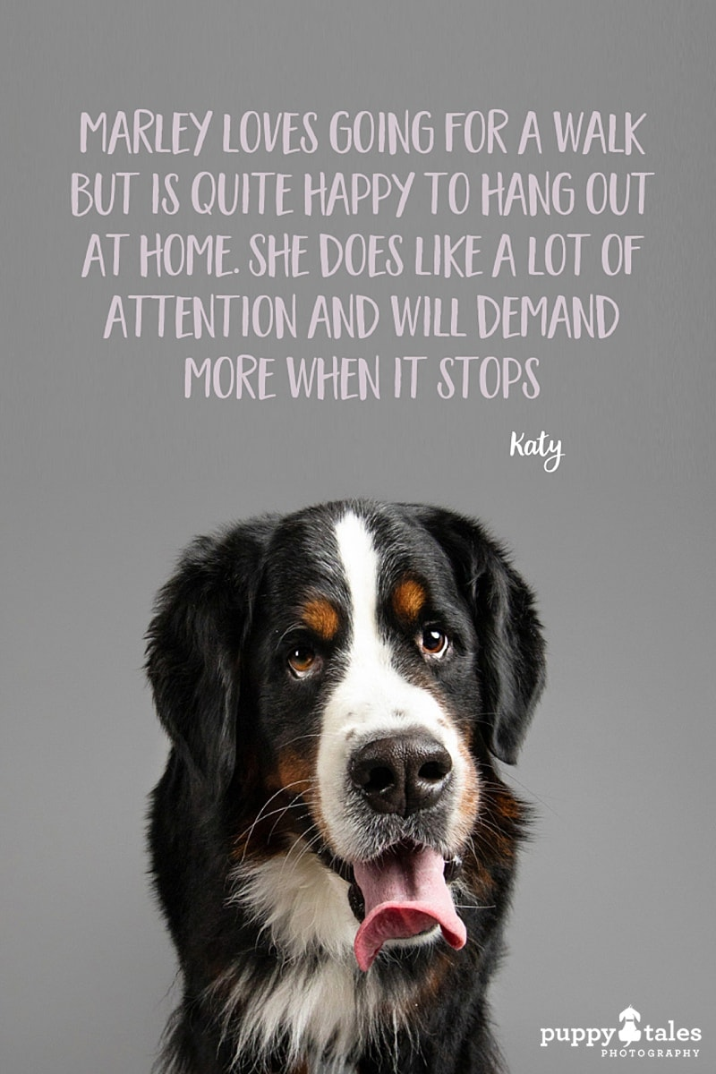 Marley the three-year-old Bernese Mountain Dog. She was photographed by Kerry Martin of Puppy Tales Photography for Project Dogalogue.