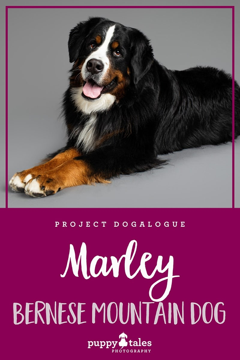 Markey the three-year-old, Bernese Mountain Dog was photographed in Puppy Tales' Project Dogalogue. This is his human Katy's tale of life with Marley.
