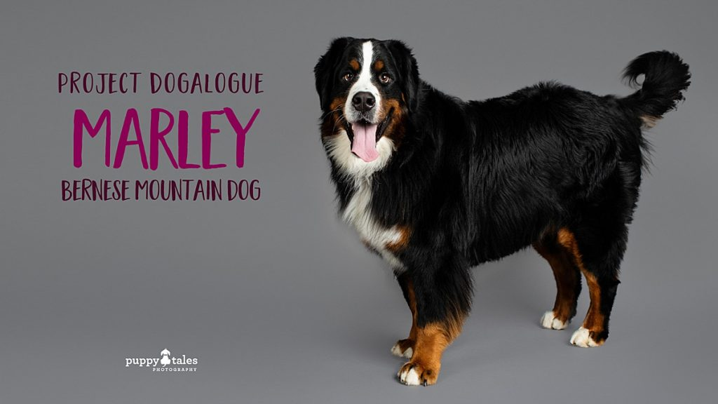 Bernese Mountain Dog Marley photographed by dog photographer Kerry Martin for Project Dogalogue.