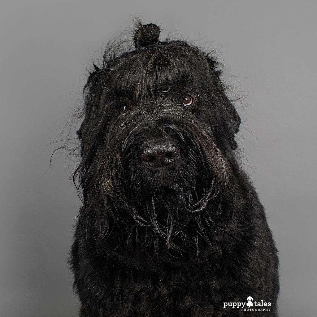 Vader the Black Russian Terrier was photographed in the Puppy Tales Studio in Melbourne by dog photographer Kerry Martin. Here this big dog has a doggo man bun!