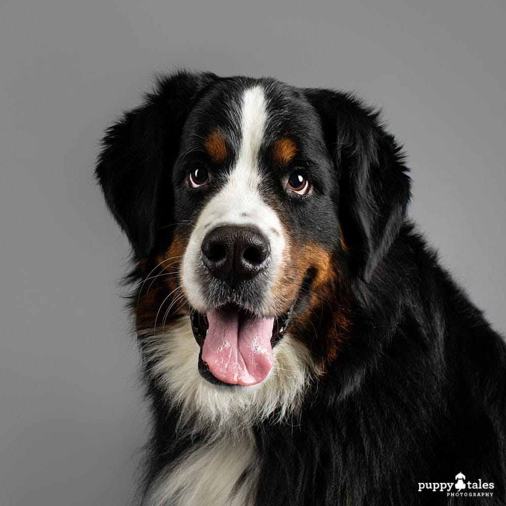 Headshot of Marley the Bernese Mountain Dog who was photographed on a grey paper background in the Puppy Tales Studio in Melbourne