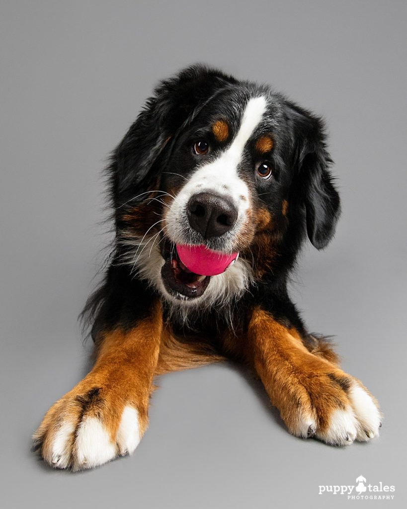 Studio photo of a Bernese Mountain Dog named Marley. She was photographed on a grey background and has a ball in her mouth.
