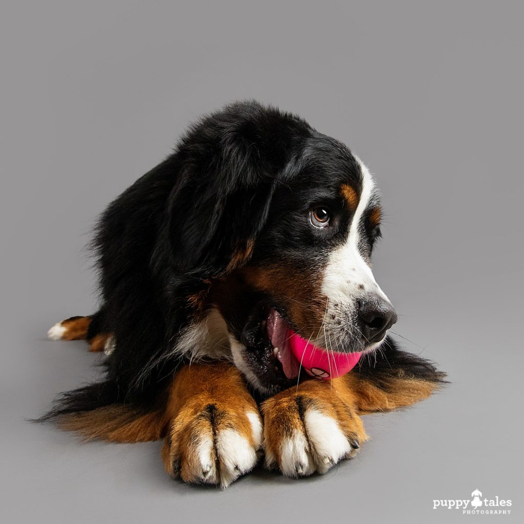 Bernese Mountain Dog Marley was photographed by Kerry Martin for Project Dogalogue. She's being cheeky with a ball on a grey studio background.