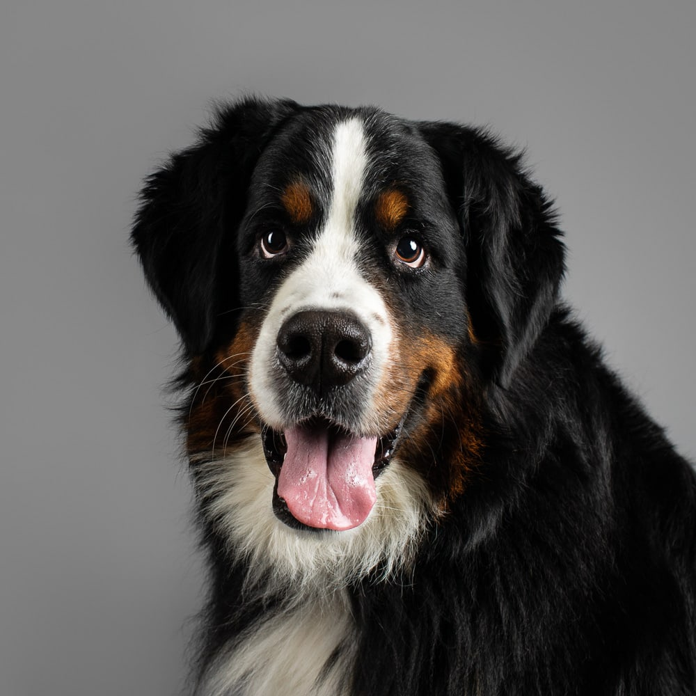 Studio photograph of Marley the Bernese Mountain Dog in Melbourne Studio
