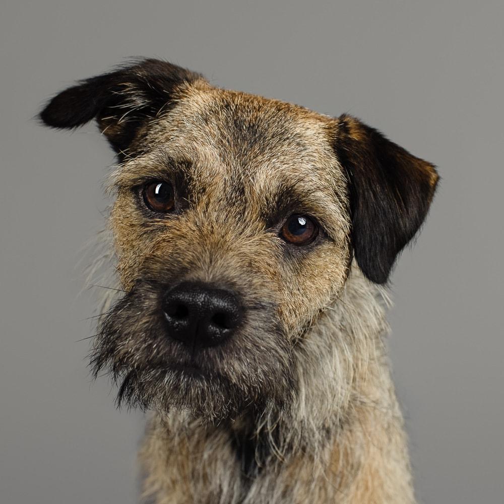 Studio photograph of Wilbur the Border Terrier