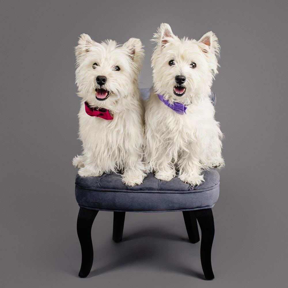 Studio photographs of Roxy & Freddie the West Highland White Terriers