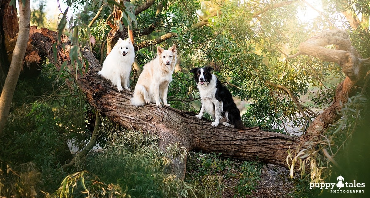Three dogs sitting on a big old tree found while heading out on their morning dog walk.