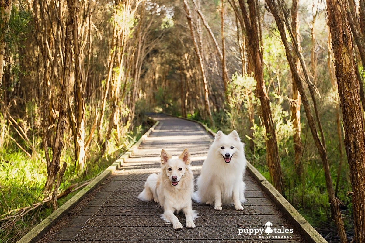 Two dogs sitting in the middle of a boardwalk. They're on a dog walk at a different time of day.