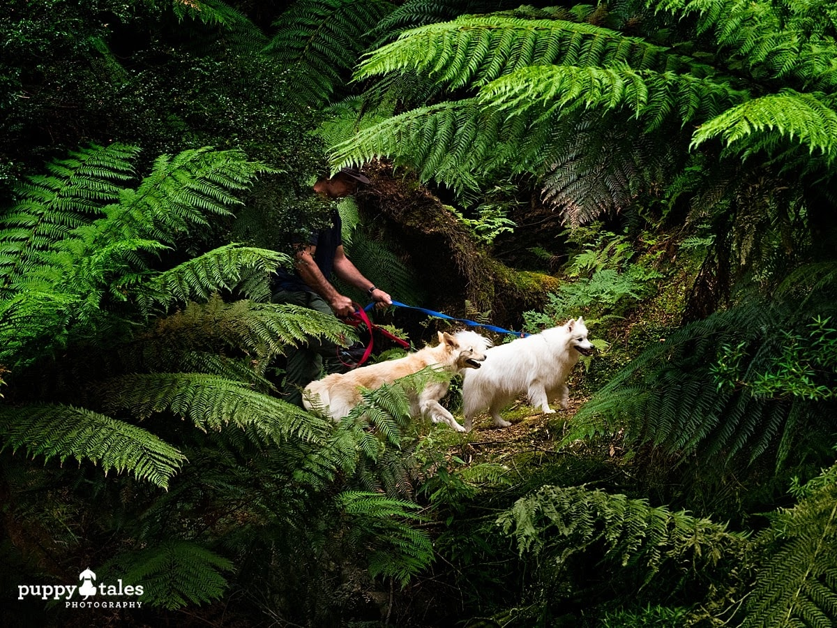 A man walking with two dogs hiking through green ferns in Tasmania - their dog walks are made more adventurous by finding new places.