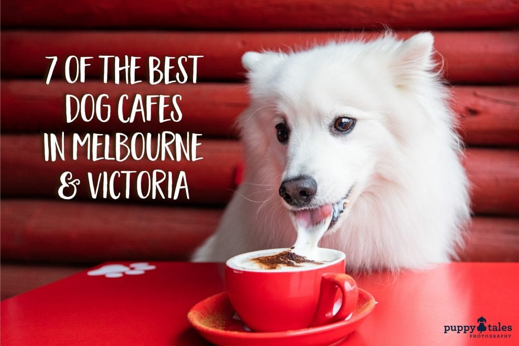 The Best Dog Cafes in Melbourne and Victoria featuring a fluffy white Japanese Spitz drinking a puppachino.